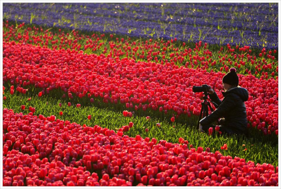 Fotografujeme tulipánová pole vokolí Alkmaaru - fotografický workshop Rozkvetlé jarní Holandsko