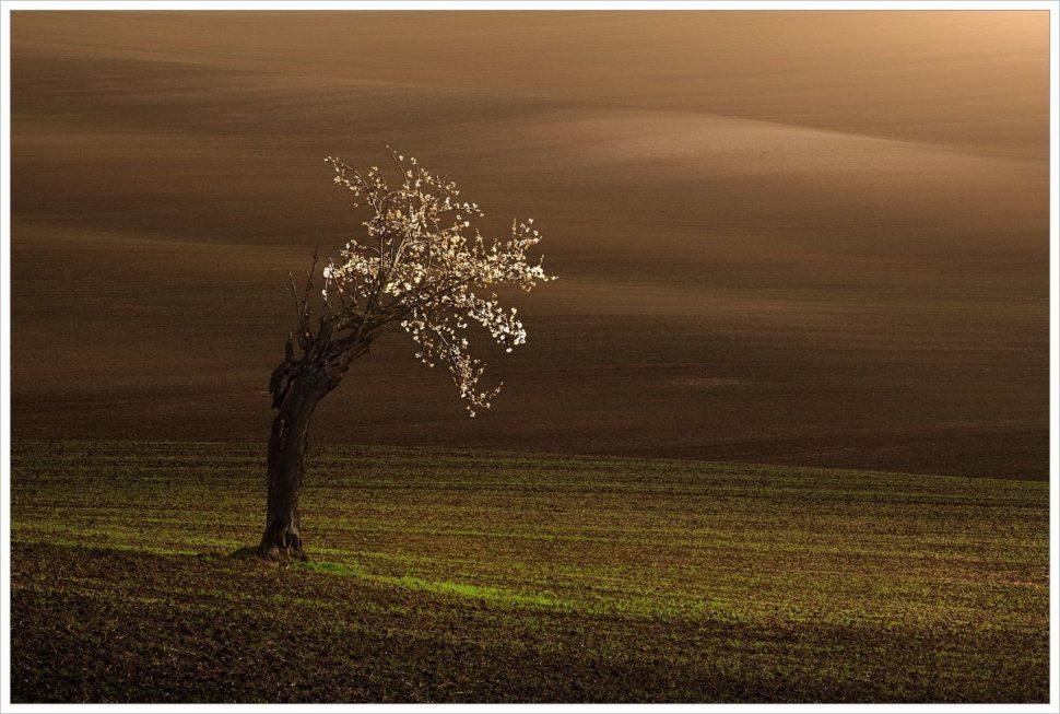 Stará rozkvetlá třešeň napolích Moravského Toskánska - fotografický workshop Romanticky zvlněná Jižní Morava