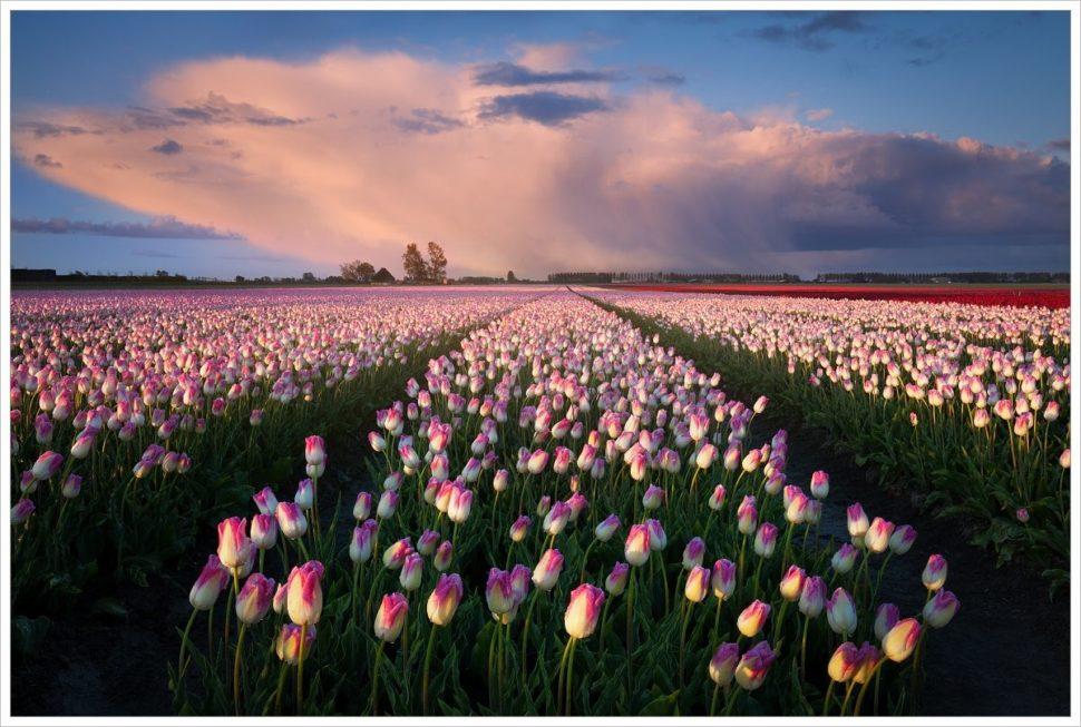 Tulipánová pole jsou neodolatelná - fotografický workshop Rozkvetlé jarní Holandsko