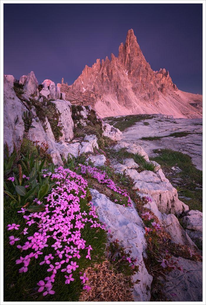 Dolomity-Monte Paterno pozápadu slunce srozkvetlými skalničkami vpopředí